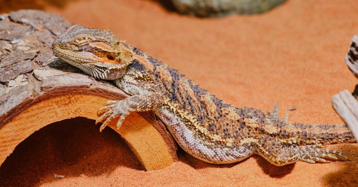 Can Bearded Dragons Sleep With You