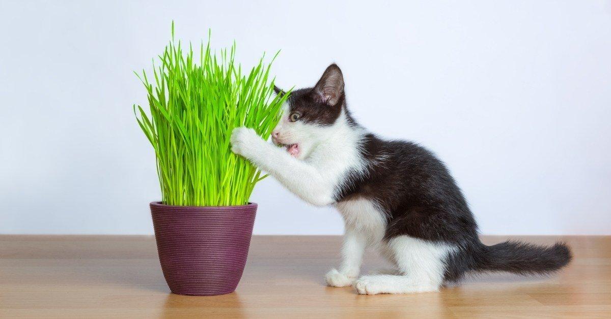 cat grass benefits