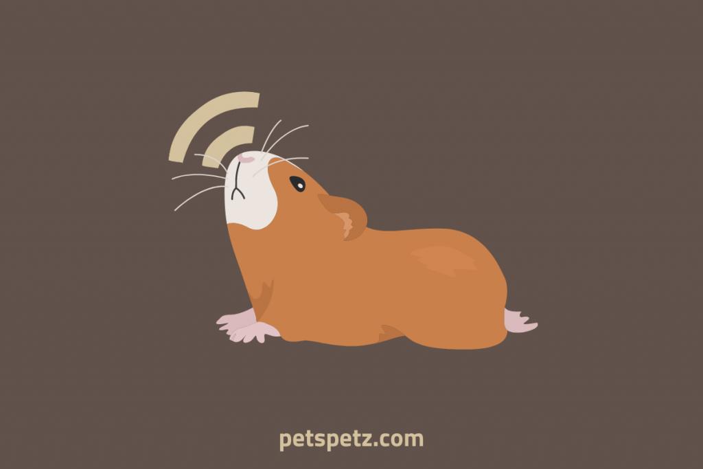 guinea pig noise