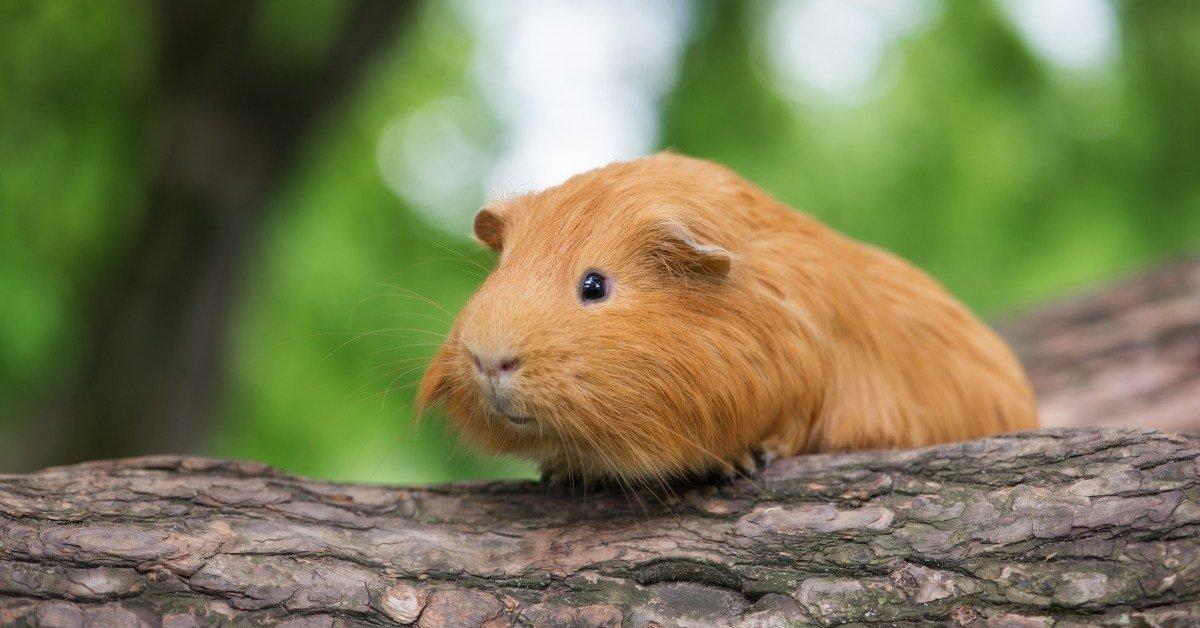 guinea pig puffed up