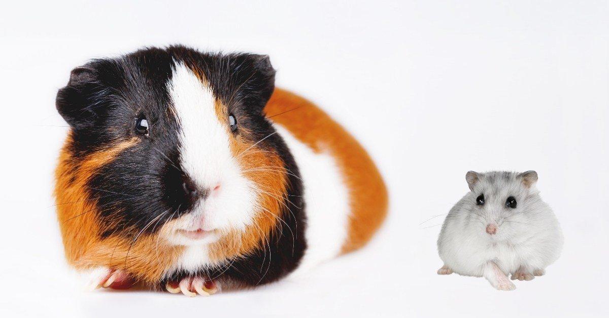 guinea pigs vs hamsters as pets