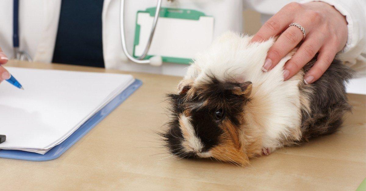 neutering a guinea pig