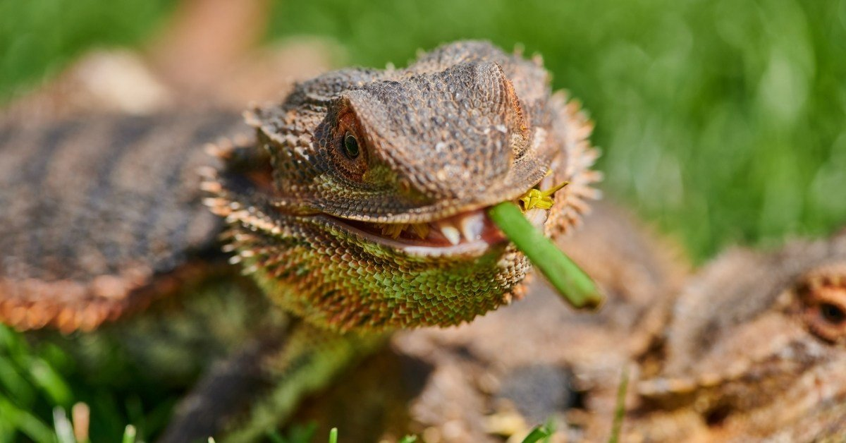 what vegetables can bearded dragons eat