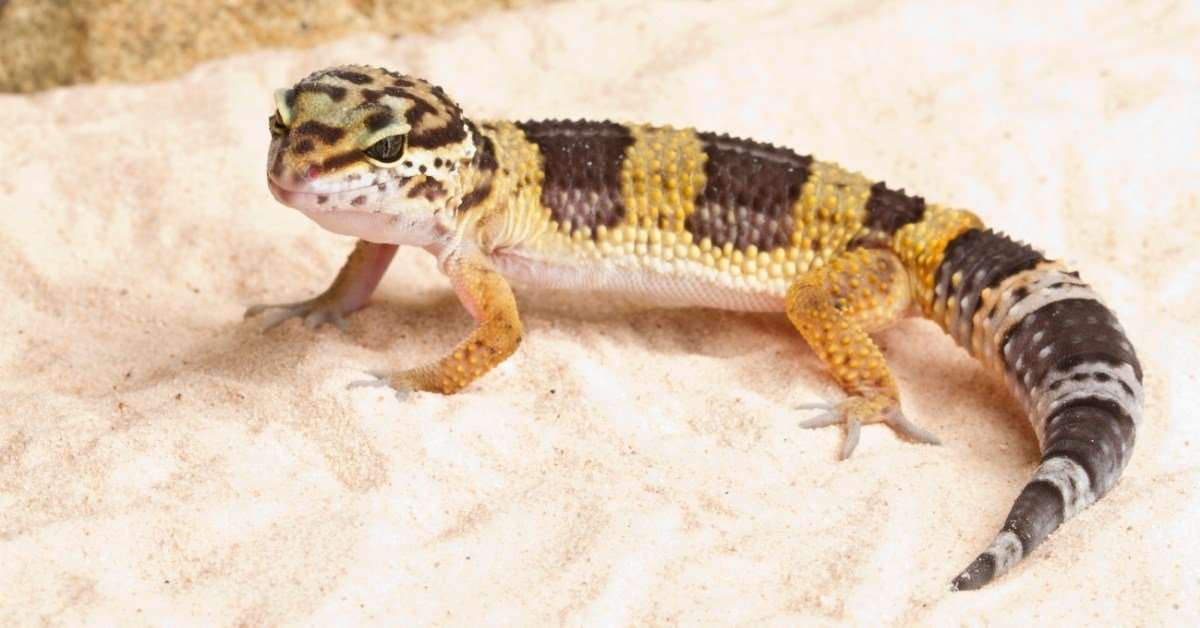 why do leopard geckos have fat tails