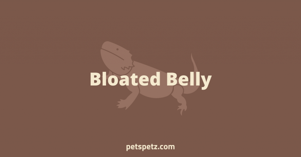 Bearded Dragon Bloated Belly