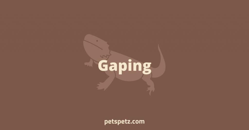 Bearded Dragon Gaping