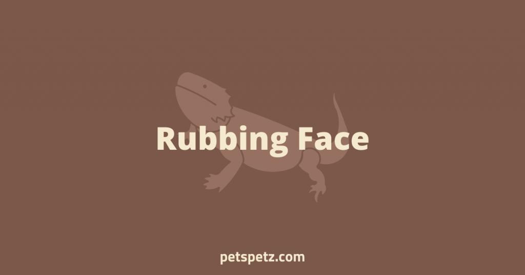 Bearded Dragon Rubbing Face