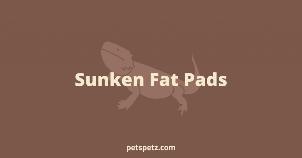 Bearded Dragon Sunken Fat Pads