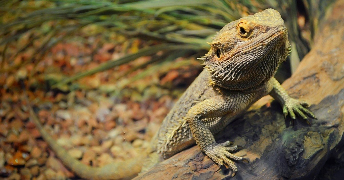 Do Bearded Dragons get depressed and lonely