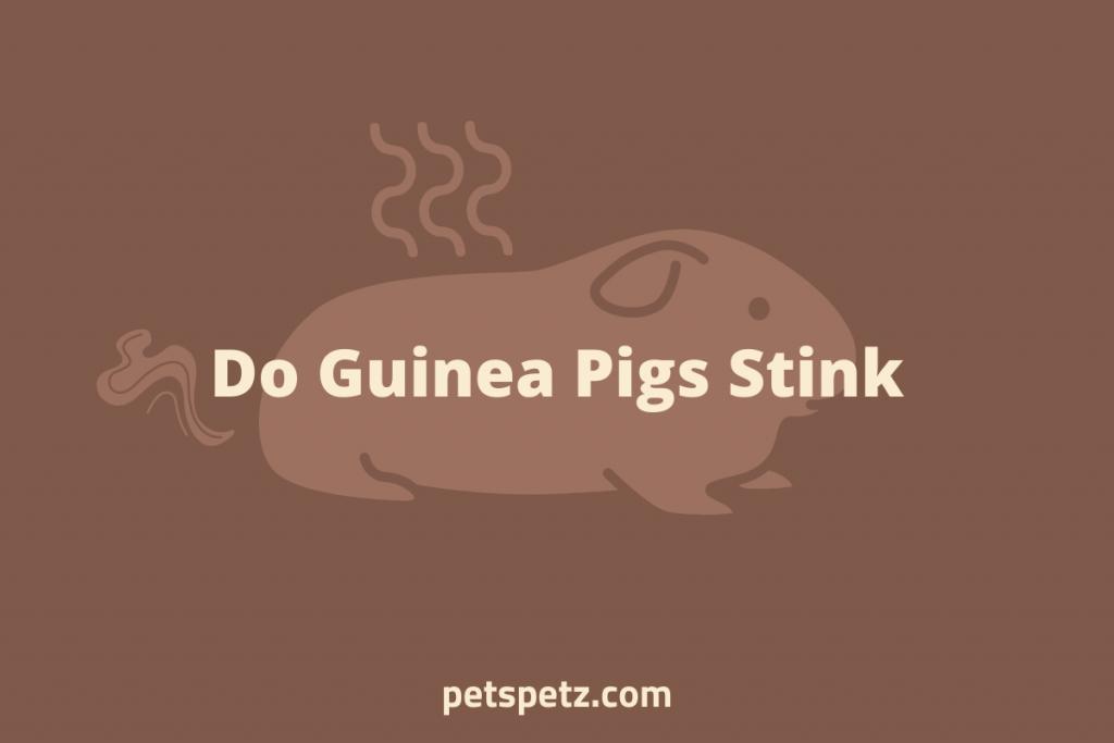 Do Guinea Pigs Stink