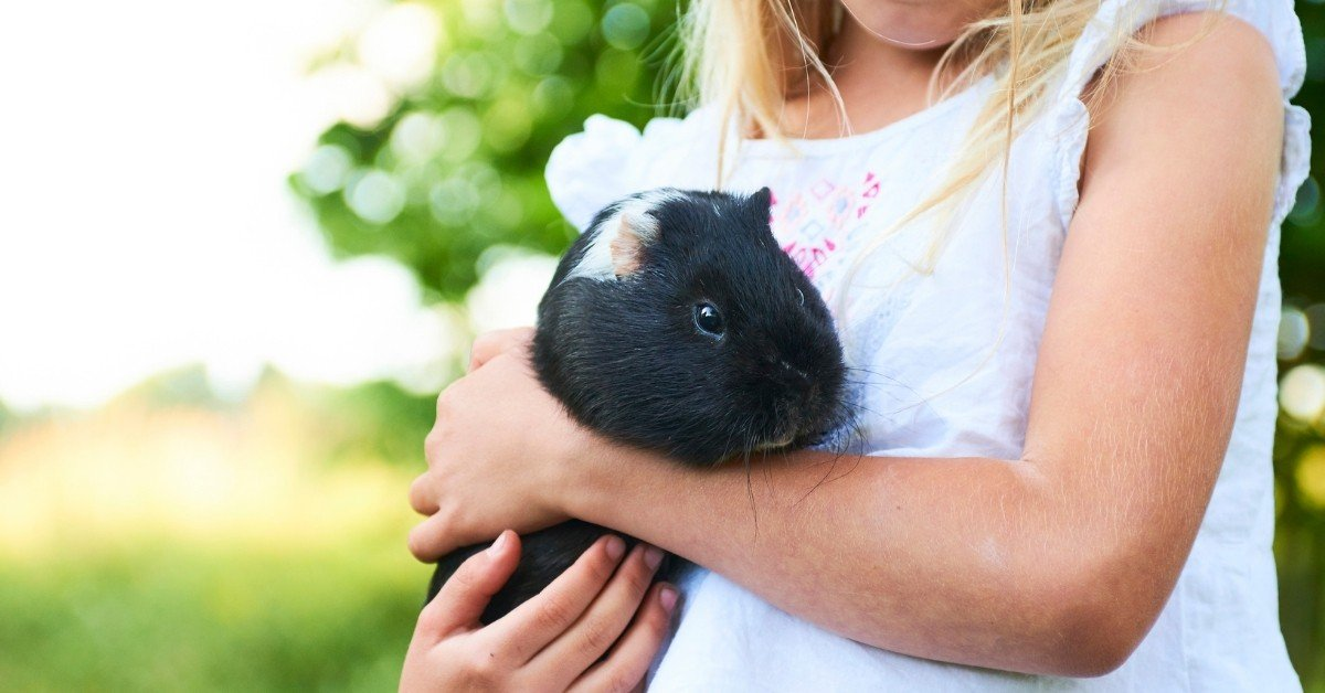 How To Bond With A Guinea Pig And Tame It