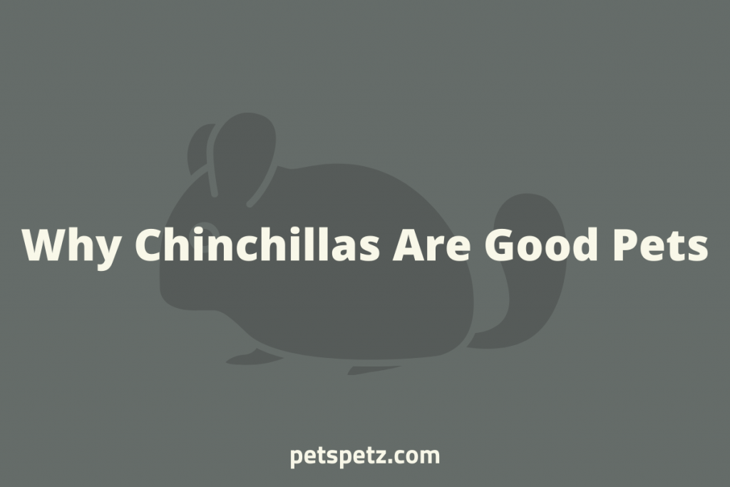 Why Are Chinchillas Good Pets