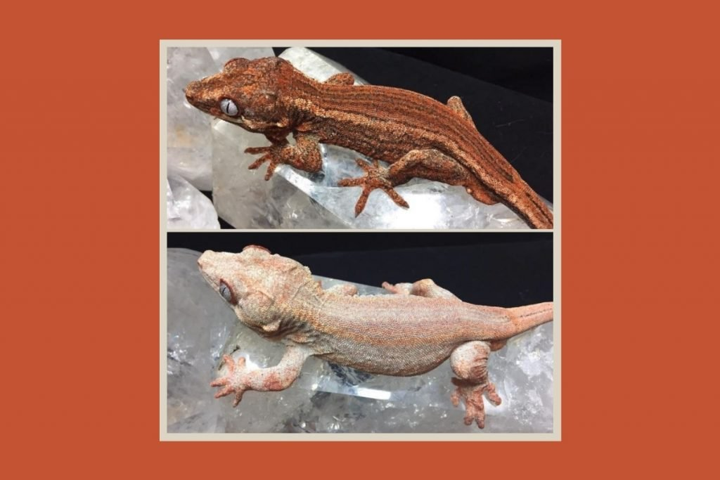 Why Do Crested Geckos Fire Up