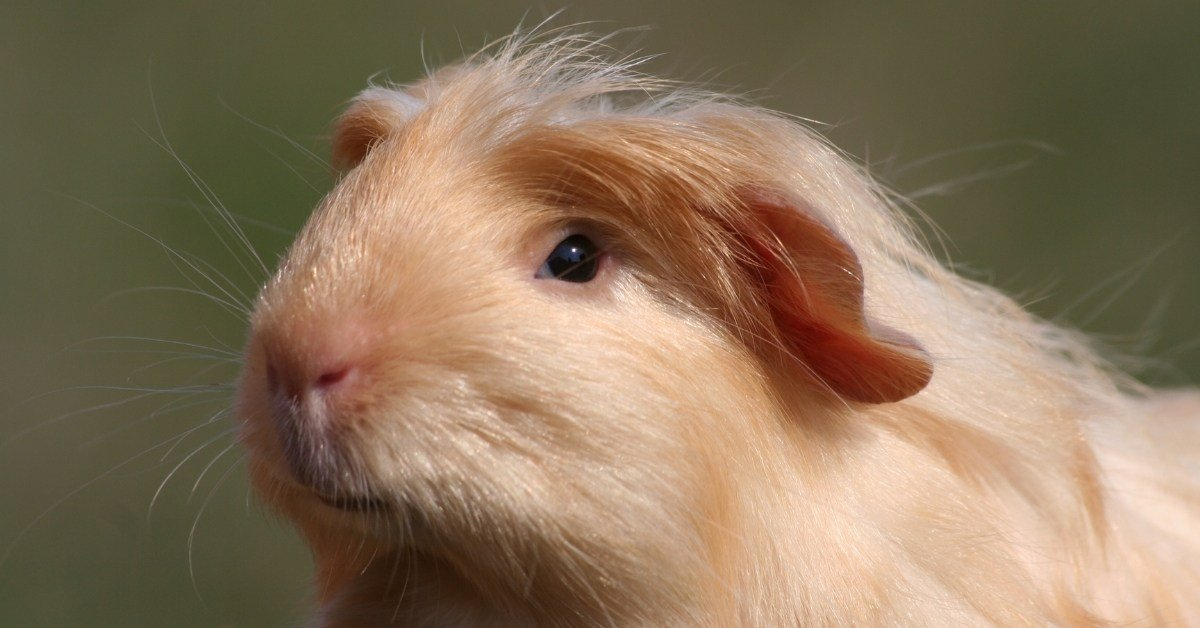 Why Do Guinea Pigs Eat Poop