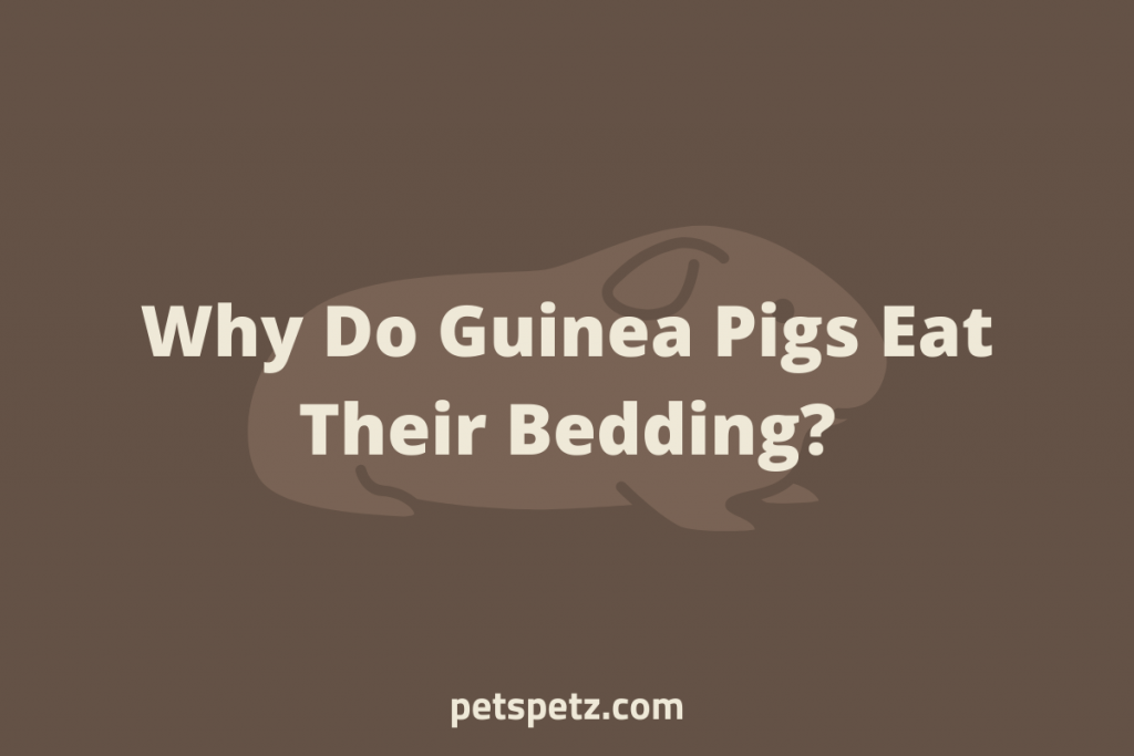 Why Do Guinea Pigs Eat Their Bedding
