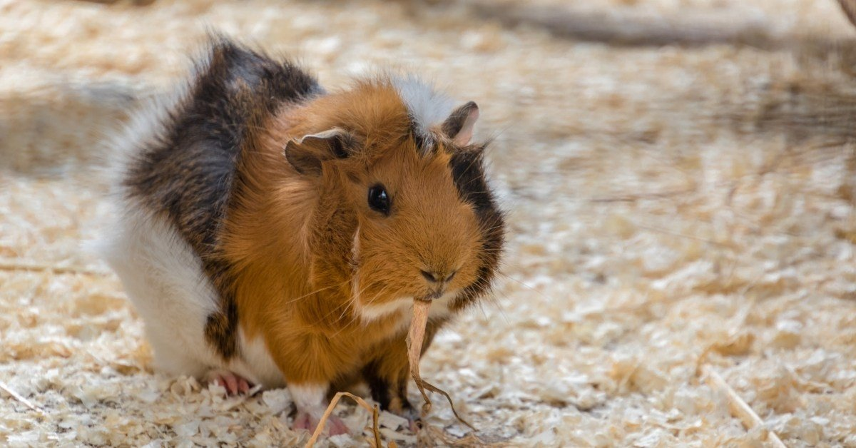 Why Do Guinea Pigs Eat Their Bedding & Types Of Bedding