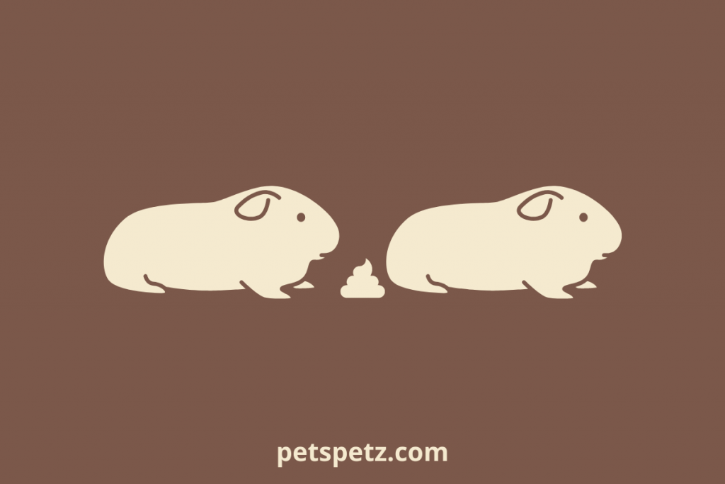 Why Do Guinea Pigs Eat Their Poop