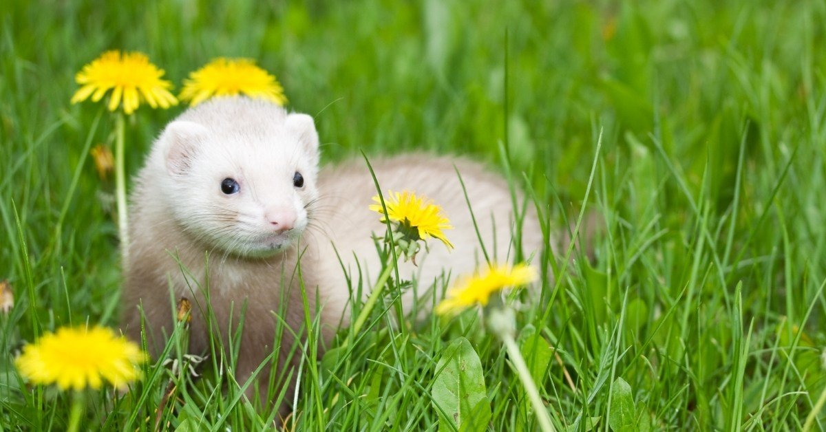are ferrets good pets or bad pets