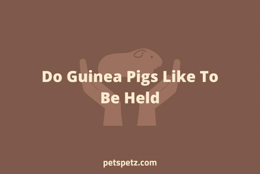 do guinea pigs like being held