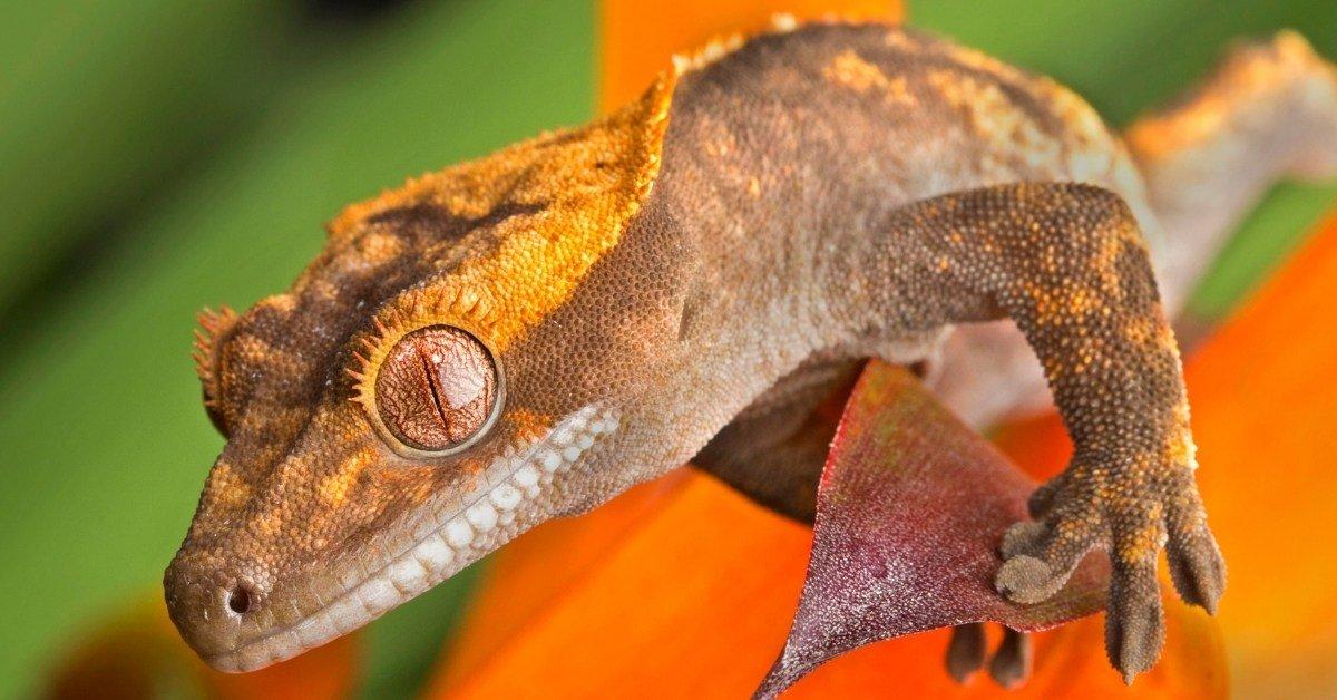 why do geckos fire up