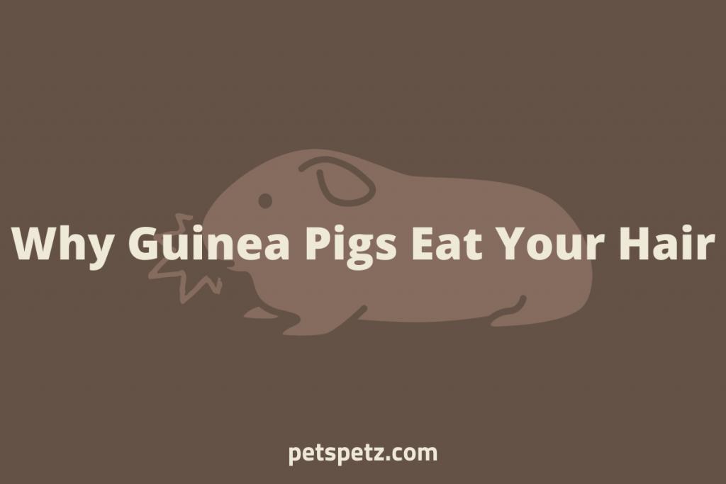 guinea pig eating hair