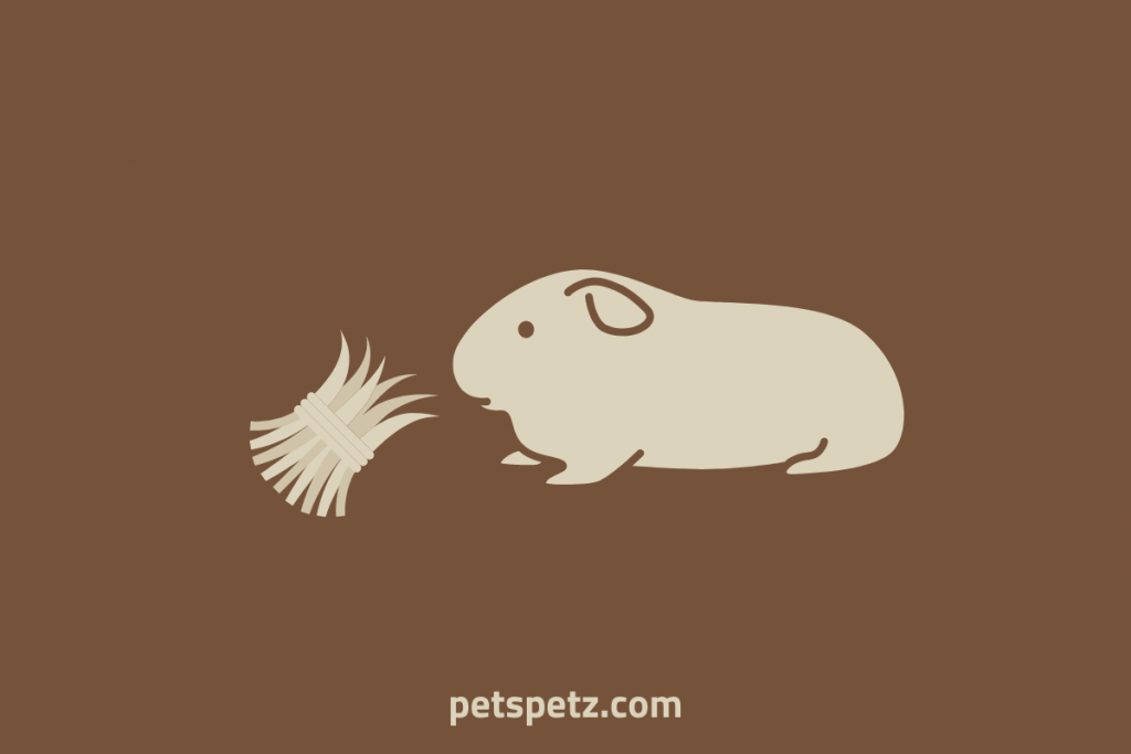 guinea pig is sneezing