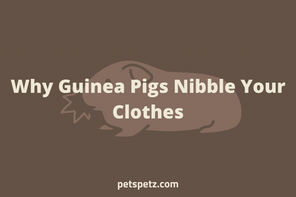 guinea pig nibbling clothes