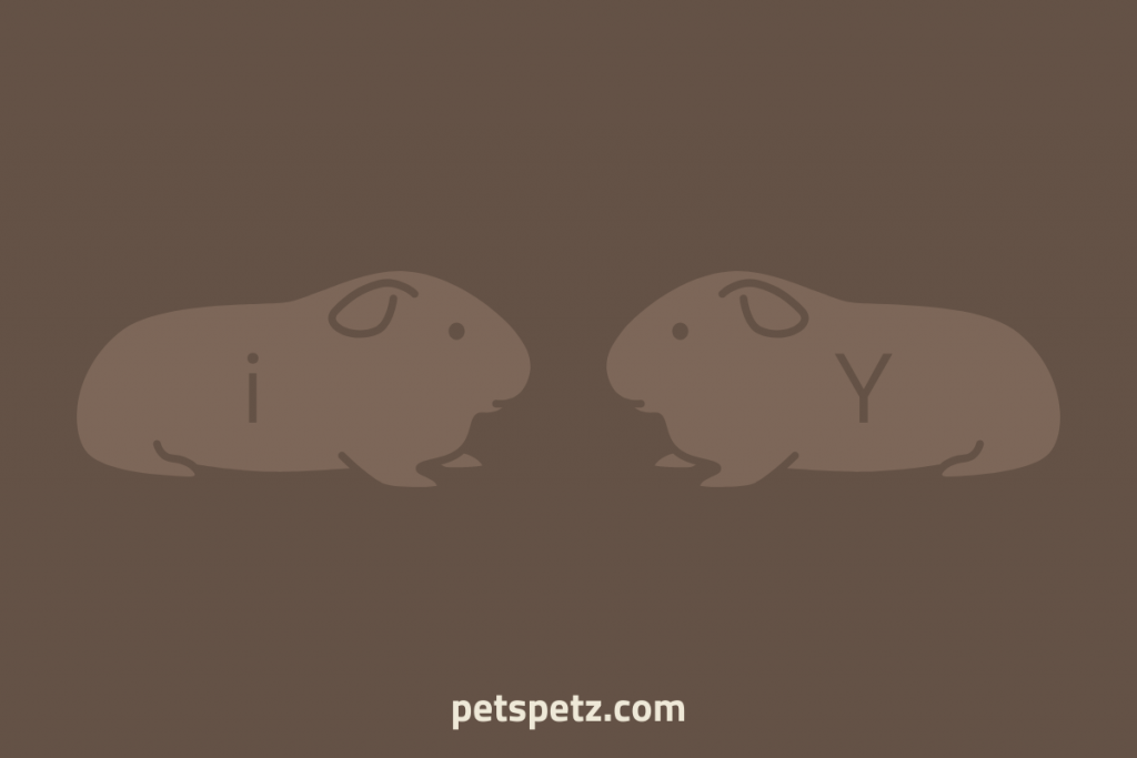 guinea pig sexing