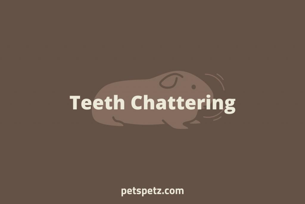 guinea pig teeth chattering