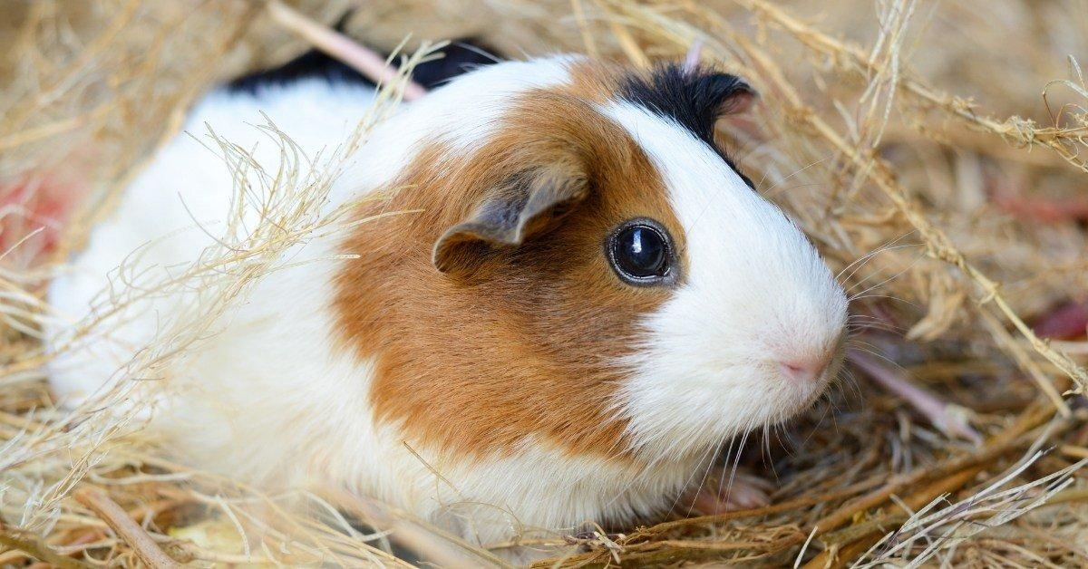 guinea pig vibrating