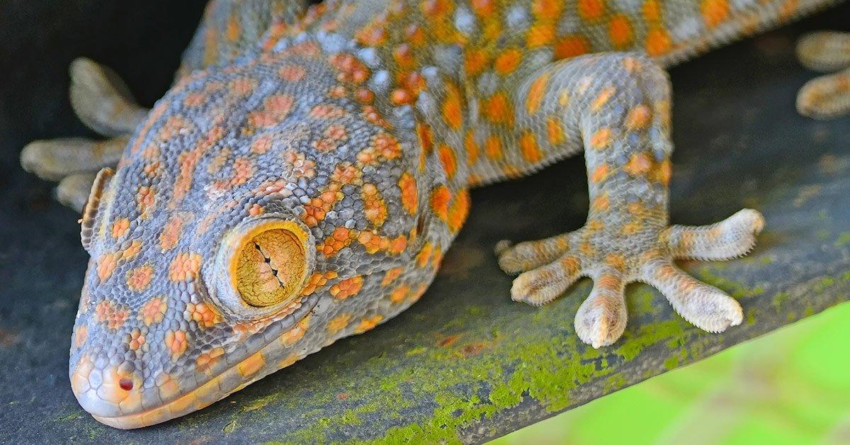 halmahera-gecko-care-guide