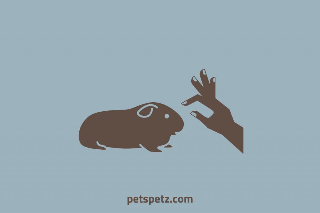 how to pet a guinea pig