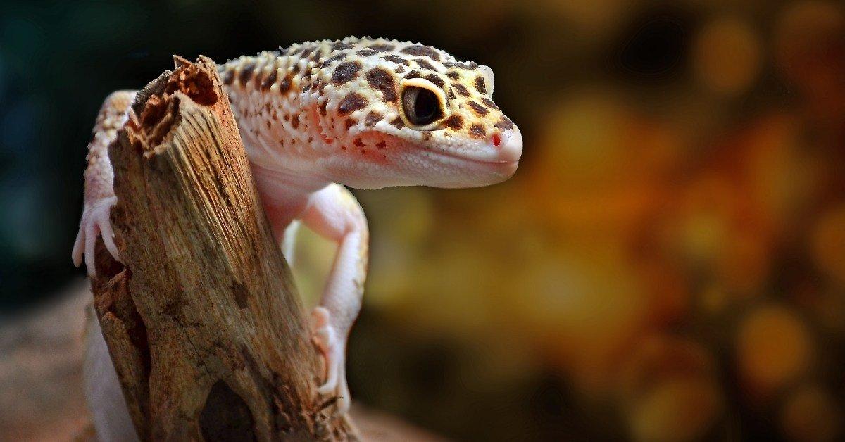 leopard gecko pooping guide