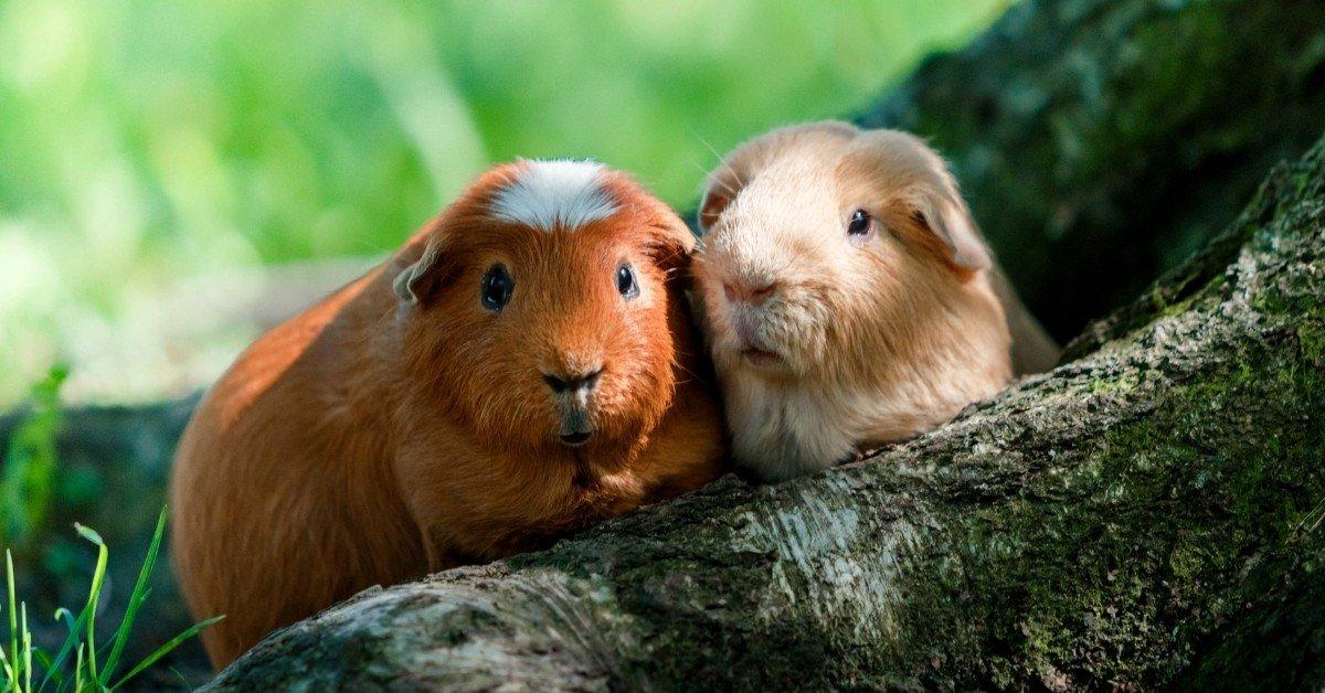 male or female guinea pig