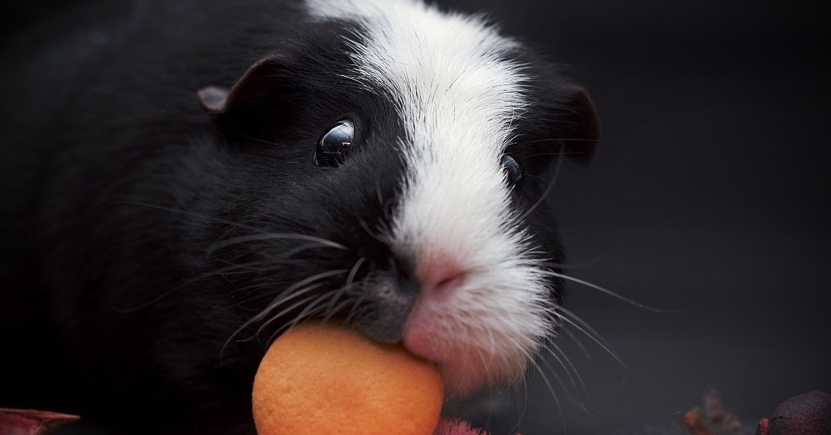 why do guinea pigs lick and nibble