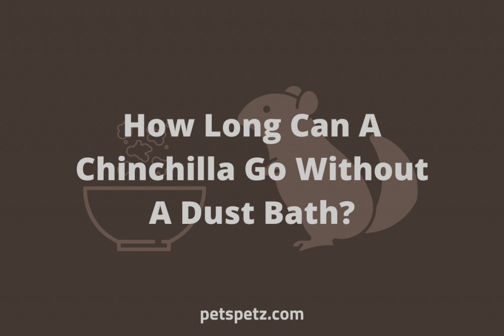 How Long Can A Chinchilla Go Without A Dust Bath