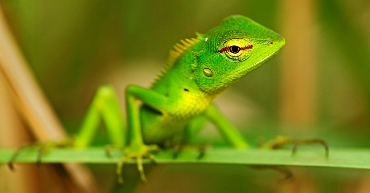are anole lizards poisonous to humans