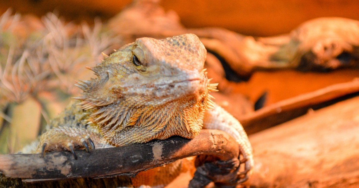 bearded dragon care daily, weekly, monthly