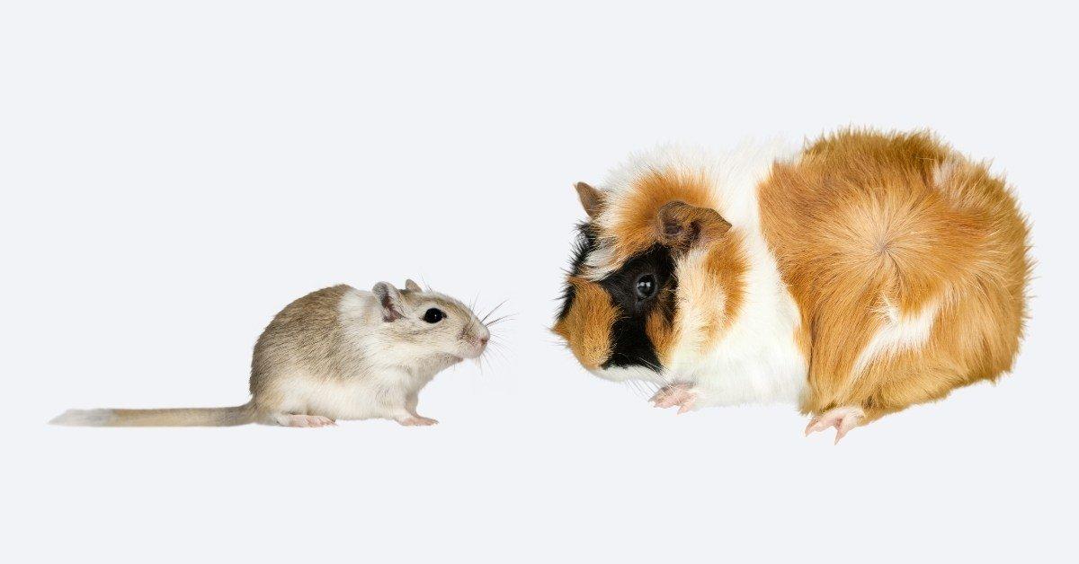 gerbils vs guinea pigs as pets 1