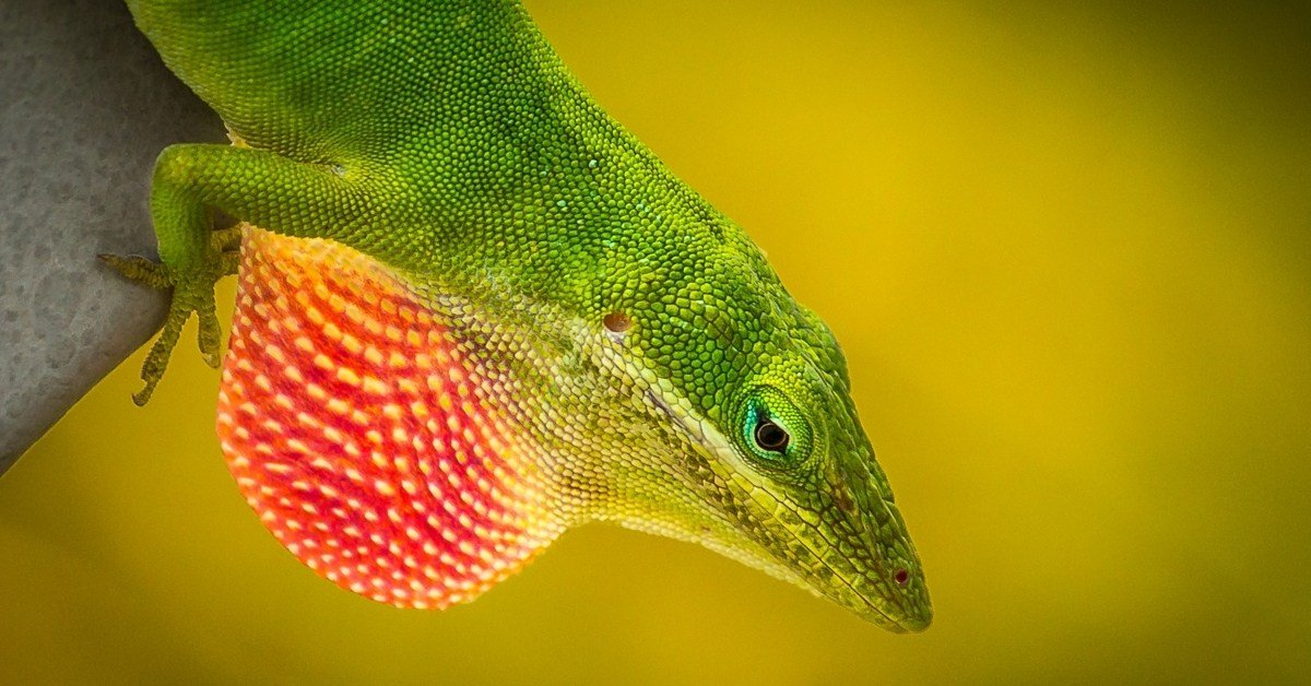 why anoles have dewlaps and show them